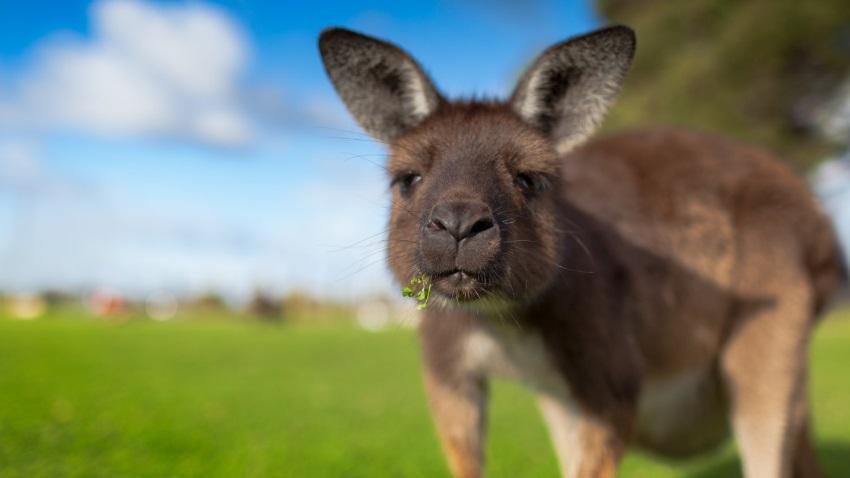 Photo of Pojazdy autonomiczne Volvo nie radzą sobie z wykrywaniem kangurów w Australii